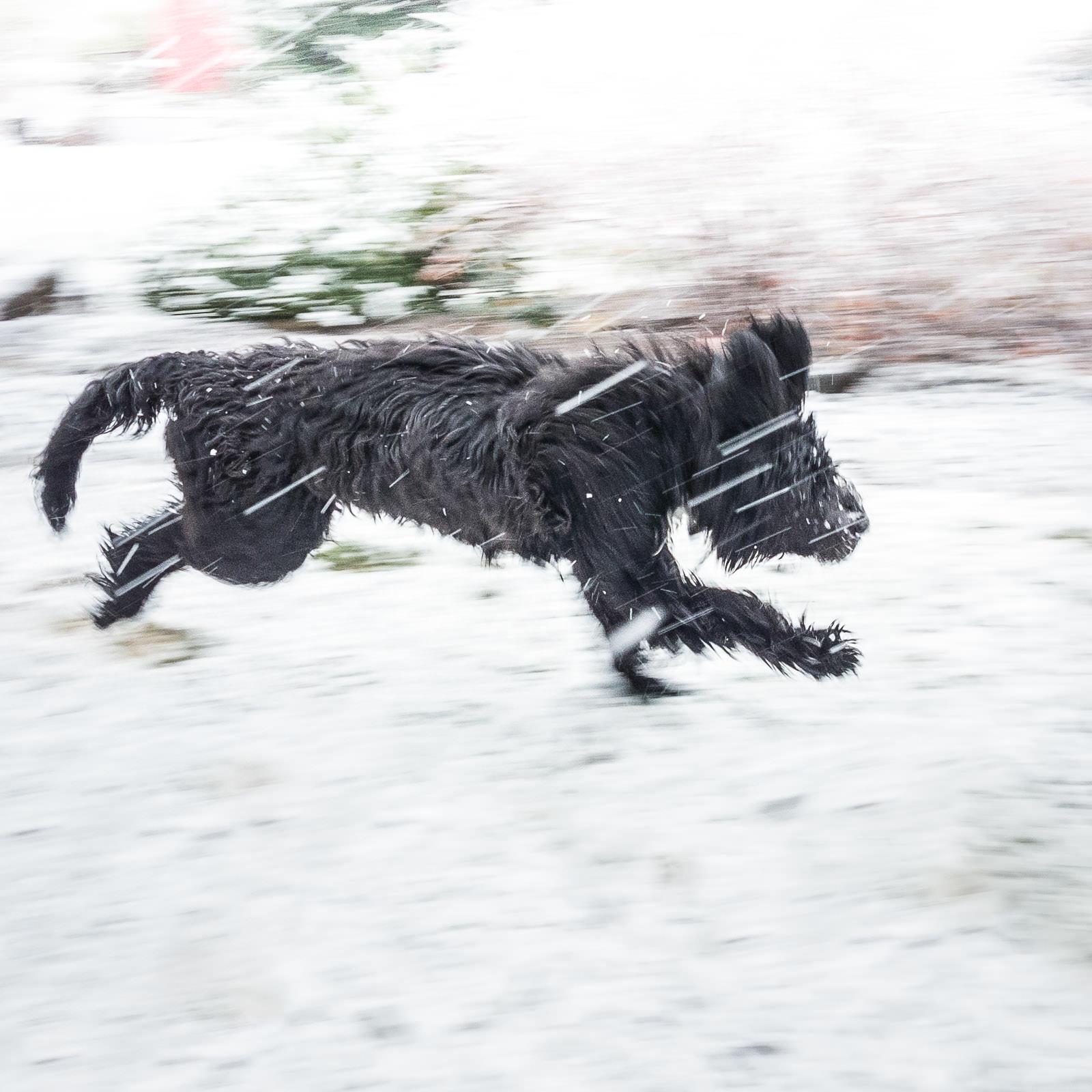 Mögen Portugiesische Wasserhunde Schnee?