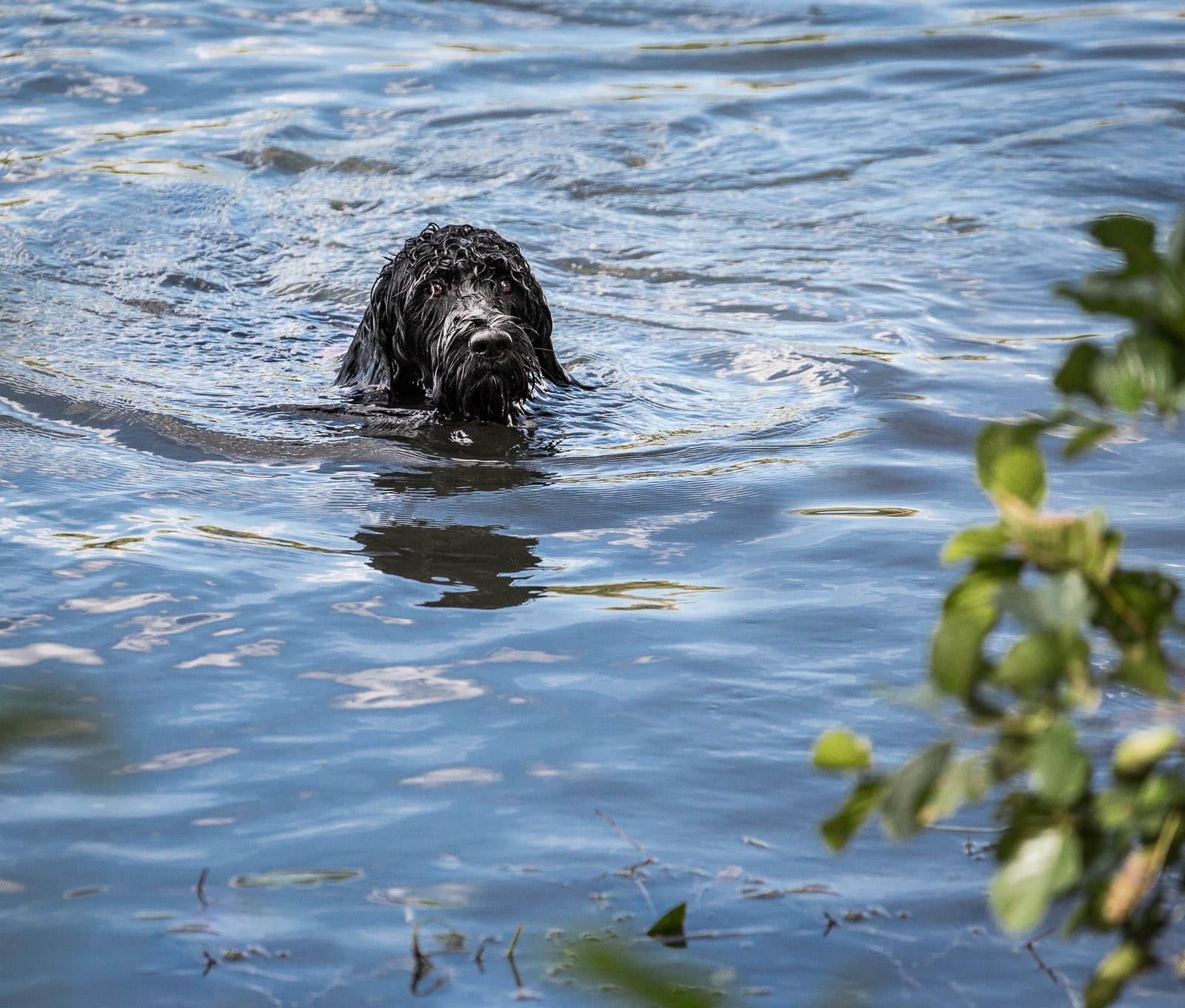 Schwimmt ein Portugiesischer Wasserhund eigentlich automatisch?
